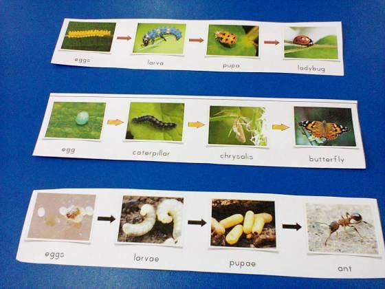 ciclu de viata insecte