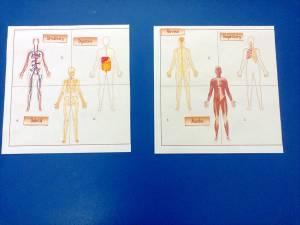 sistemele corpului uman